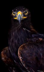 Tristan (Cristina Laugero) Tags: bird king eagle reale falconry aquila rapace