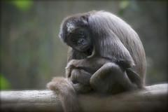 Morning Joe! (Rita Petita) Tags: california rainforest sandiego explore sandiegozoo colombianspidermonkey