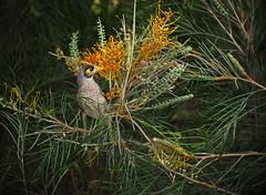 Noisy Miner feeding_c (gnarlydog) Tags: bird nature australia nectar manualfocus grevillea vintagelens adaptedlens cinelens kodakcineektanon102mmf27