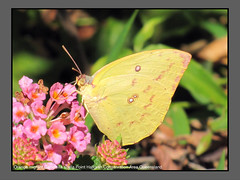 Migrants (Douglas Dew butterflies) Tags: orange migrant catopsilia scylla