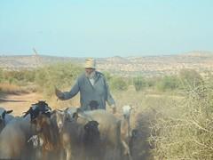 Shepherd, Morocco (FAO of the UN) Tags: shepherd agadir morocco goats herd
