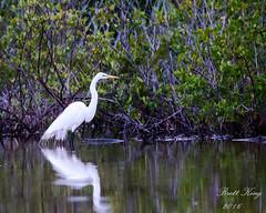 Elegant White Heron (dbking2162) Tags: bird beach nature water birds animal florida fort wildlife wading myers