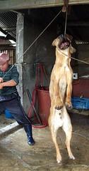 Dog slaughter in Korea (Koreandogs) Tags: dogmeat animalcruelty boshintang animalabuse gaegogi dogsoju dogelixir southkorea              hyundai samsung lg kia sk daewoo fila koreanairline asianaairline boycott