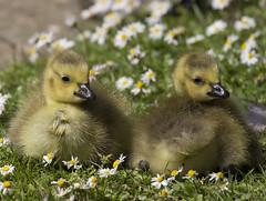 England (richard.mcmanus.) Tags: england london ducks animals regents park mcmanus goslings geese canadageese daisies