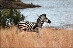 Countdown to South Africa (crafty1tutu (Ann)) Tags: africa travel lake holiday water grass animal southafrica stripes zebra waterhole 2014 anncameron canon100400mmlens naturethroughthelens canon5dmkiii crafty1tutu myfavouriteafricananimal