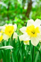 Narcissus (Nataliya Belitskaya) Tags: flowers plant flower green floral russia outdoor narcissus