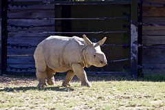 The Dirt on Burt (conwest_john) Tags: rhino torontozoo motherandbaby specanimal