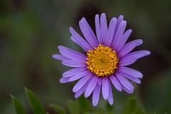 Wild Daisy (- Erdenebileg Bat-Erdene -) Tags: wild mountain flower purple mongolia daisy