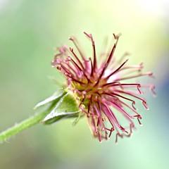 Seedhead (lizfy30) Tags: pink macro green nikon buttercup ranunculus seedhead d5500