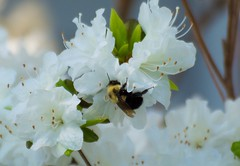 Flowers and bee (E. Aguedo) Tags: new flowers light england white green garden insect island spring ngc bee rhode warwick