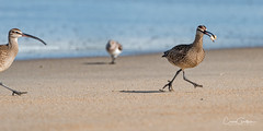 Come back here! (craig goettsch) Tags: salinasrivernwr california montereypeninsula ocean water beach sand sandcrab whimbrel nikon d750 850mm 14 extender bird avian 14extender springtrip2016whimbrel smugmugproofs