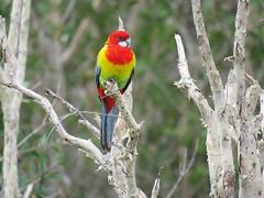 Platycercus eximius 8 (barryaceae) Tags: new lake bird birds wales south sandbar australia aves smiths australianbirds australianbird ausbird ausbirds