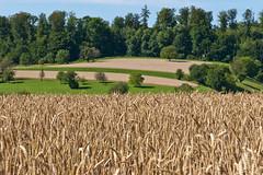 Getreidefeld am Dinkelberg (vivalatinoamerica) Tags: sommer landwirtschaft feld wiese landschaft wald schwarzwald baum acker agrar badenwrttemberg getreide weizen getreidefeld kulturlandschaft feldfrchte dinkelberg