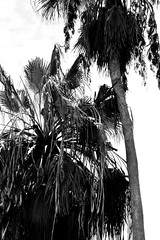Cardboard Trees (Alex Alves-Pingani) Tags: blackandwhite bw white black nature monochrome contrast palm bnw greyscale tees