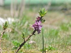 DSCN0357 (keepps) Tags: mountains alps flower schweiz switzerland suisse wildflower vaud rochersdenaye