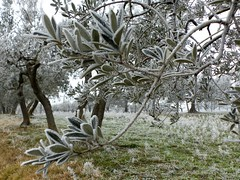 Umbria (Martin M. Miles) Tags: italy frost olive umbrien olivegroveumbria