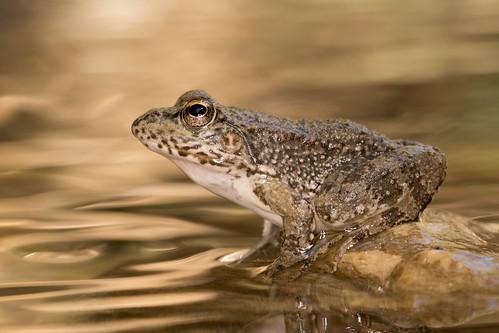 cyprus marsh frog