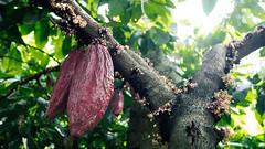 Bali - Auman - Cocoa (tenkai2002) Tags: bali chocolate cocoa