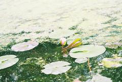 Nikon F2 6/24 (connorbrustofski) Tags: flowers roses records flower macro texture film sunglasses analog 35mm garden nikon rocks fuji wine kodak superia driftwood fujifilm nikkor ultramax