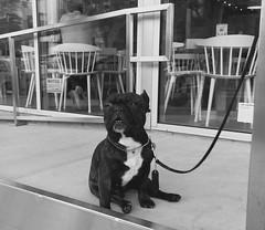 Pug Patience (Tyler Merbler) Tags: california usa dog cute la pug starbucks leash