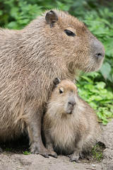 2016-06-27-11h00m42.BL7R2662 (A.J. Haverkamp) Tags: canonef100400mmf4556lisiiusmlens rhenen zoo dierentuin thenetherlands httpwwwouwehandnl ouwehandsdierenparkrhenen capybara dob11042016 pobrhenenthenetherlands