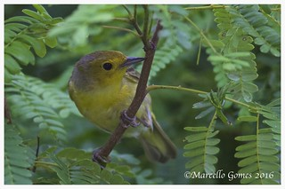 'Golden' Yellow Warbler (Setophaga petechia) YWAR- Florida Keys and West Indies specialty. (ID shot)