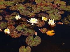 P6303722 (louisecrouch) Tags: nature water outdoors pond waterlilies waterplants lilypond waterflowers gardern