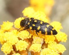 Acmaeodera (Acmaeotethya) prunneri (Pietro Niolu) Tags: sardegna alghero coleoptera buprestidae acmaeodera acmaeotethya acmaeoderaprunneri