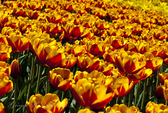 yellow and red tulips (gregork.) Tags: red yellow spring tulip maj tulipan 2013 pomlad mozirje rože mozirskigaj