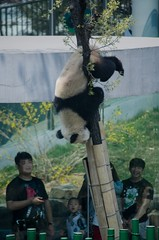 Panda () Tags: china zoo dalian
