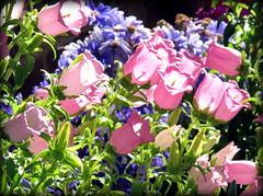 Sunkissed (Aunt Teena) Tags: pink flowers green li purple plantingfieldsarboretum