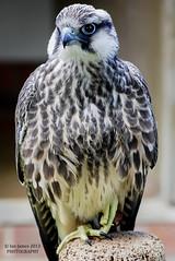 Saker Falcon (Jamo224) Tags: nikon coth supershot 10nw 5wonderwall sunrays5 internationalcenterforbirdsofpreynewentgloucestershire httpflickrsunshineblogblogspotcom