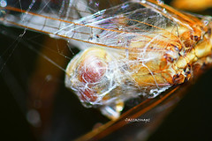 IMG_5981_edited-1 (cazzazsnapz) Tags: nature spiders web insects arachnids