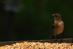 Chaffinch (Fringilla coelebs) at the bird table - identified! (RichardJames1990) Tags: red brown black bird nature table eyes european eating dam beak seed reserve short nikkor 70300mm adel unidentified chaffinch nikkon fringilla coelebs saxicola stonechat d90 identified rubicola leks 11052013