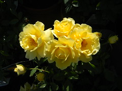 yellow Roses (Dora1333) Tags: flowers rose yellow blumen nikoncoolpixl110