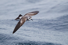 White-faced Storm-Petrel (Callocephalon Photography) Tags: