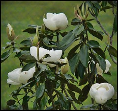 Our Magnolia Mini Tree Blooms 2013 (oldusephemera) Tags: city blue original light shadow red portrait people favorite woman dog pet house man flower detail cute art nature face leaves weather animal yellow closeup contrast cat fence pose garden dark bench photo funny colorful child purple artistic candid best deli emotional darling bnw viral