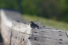 Chipping Sparrow at Fort George, Niagara on the Lake (jmaxtours) Tags: ontario bird birds sparrow niagaraonthelake fortgeorge chippingsparrow niagaraonthelakeontario fortgeorgeniagaraonthelake