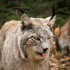 Bääähhhhh (Cloudtail the Snow Leopard) Tags: wildpark pforzheim tier säugetier animal mammal katze cat feline luchs lynx eurasischer nordluchs cloudtailthesnowleopard