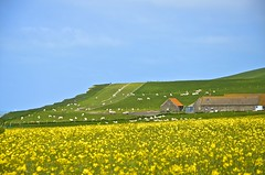 Khe auf der Weide (Lispeltuut) Tags: sea sky cliff france nature field weather frankreich meer cows felder himmel northsea nordsee nordpasdecalais raps steilkste wetter khe rapeseed capblancnez wissant rapsfelder escalles ctedopale sitededeuxcaps gegendderzweikaps