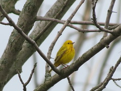 Yellow Warbler by SpeedyJR (SpeedyJR) Tags: nature birds wildlife indiana yellowwarbler warblers beverlyshoresindiana beverlyshoresin speedyjr