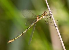 Common Emerald Damselfly @ Bedgebury Pinetum 13-07-13 (Walmer Wildlifer) Tags: elementsorganizer