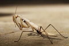 Peek-a-boo! [explore 2013-08-07] (Solomulala | mostly weekends ;-( !) Tags: macro closeup canon mantis insect peekaboo 7d hiding tamron90mm insecto kiekeboe mantisreligiosa solomulala murielcdejong