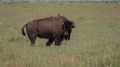 Bison and Free Riders (Big Ben in Japan) Tags: birds grandtetons bison mormonrow