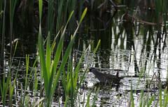 Sora or Carolina rail (Natimages) Tags: water pentax rail waterbird carolina marsh sora k5 da3004