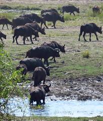 Botswana - Chobe NP - Kasane (jschort10) Tags: africa birds skeleton coast wildlife lion safari zimbabwe elephants botswana namibia chobe moremi etosha himba vlei sossus canonsx50 schwakopmund