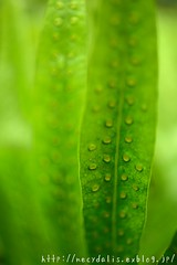 leaves... (necydalis) Tags: plant macro green nature leaves japan t japanese tokyo leaf nikon makro 250 carlzeiss makroplanar d800e