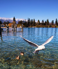 Flyby (Ashley Daws) Tags: new sky mountain lake snow water pier duck seagull zealand nz queenstown