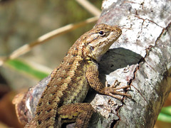 Coast Range Fence Lizard (Birdman of Beaverton) Tags: california lizard specanimal sx50