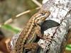 Coast Range Fence Lizard (Birdman of Beaverton) Tags: california lizard specanimal sx50